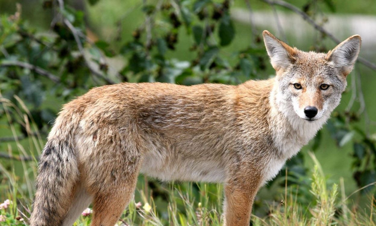 Attend a coyote safety virtual town hall